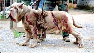 इन कुत्तो से शेर भी पन्गा लेने से डरते है  dangerous Dog breeds of the world