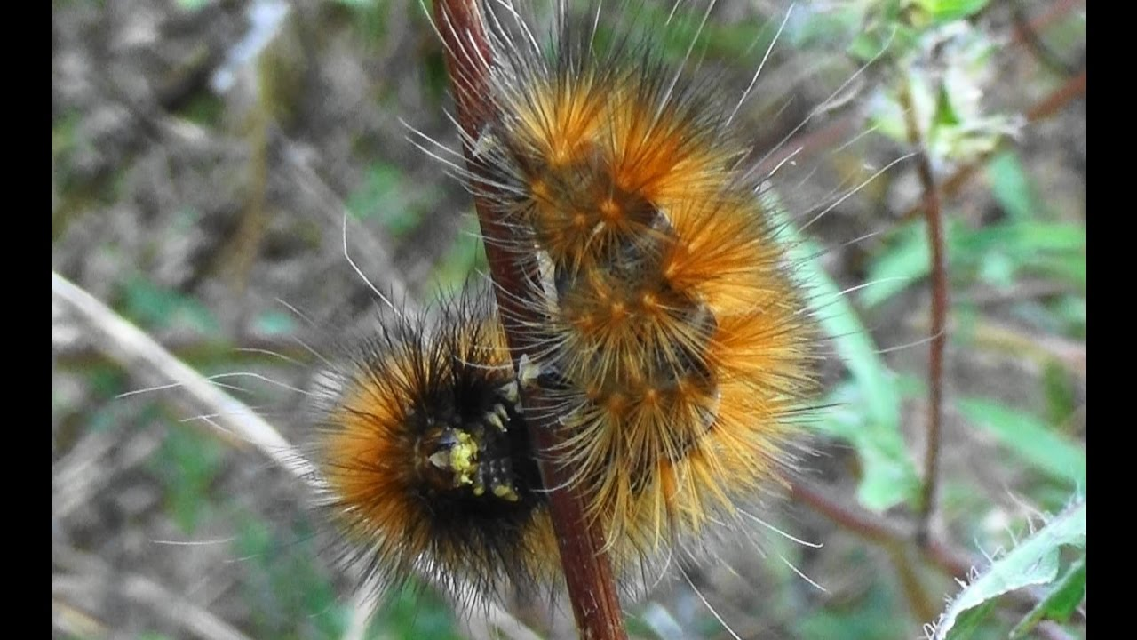 Yellow Bear / Yellow Wooly Bear Caterpillar of the ...