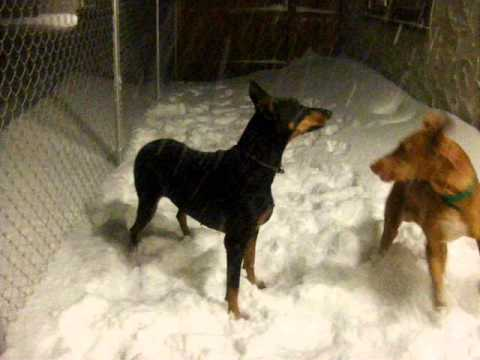 Our Doberman and Pharaoh Hound are having fun in the snow !!