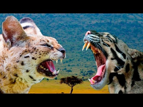 Serval vs Ocelot Cat - Differences Explained