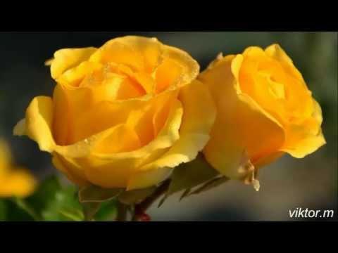 две жёлтые розы - р.набиев