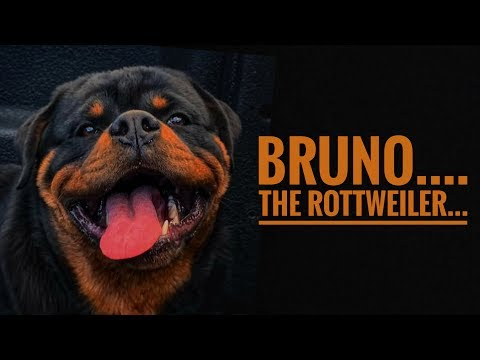 BRUNO: The Rottweiler🐶 | How To Breed Rottweiler Dogs | Tips For Pet Lovers | HYD Pet Entertainment