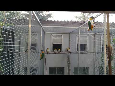 Black headed caiques 4K – Pionites Melanocephala