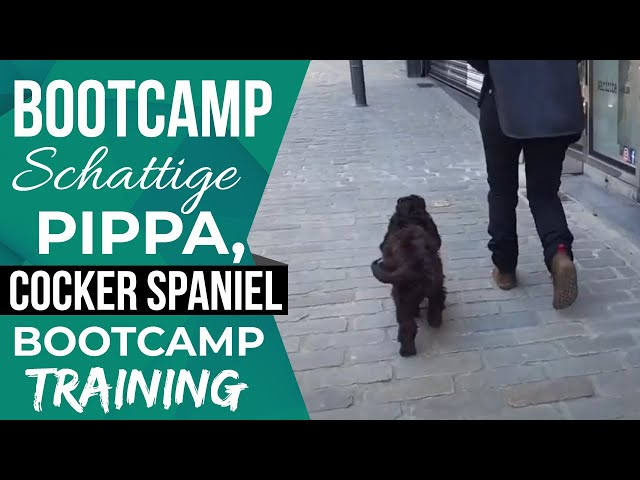 Pippa , Cocker Spaniel na onze interne training