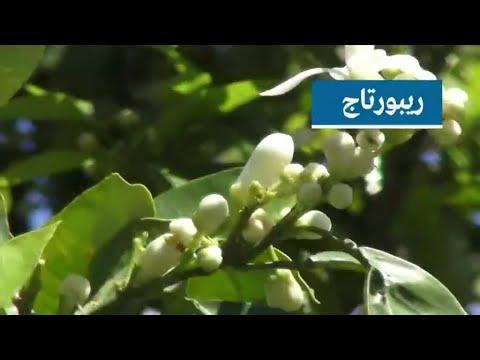 إنتاج واعد لماء الزهر وزيت زهر البرتقال في نابل التونسية  - 15:55-2019 / 4 / 23