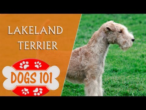 Dogs 101 - LAKELAND TERRIER - Top Dog Facts about the Lakeland Terrier