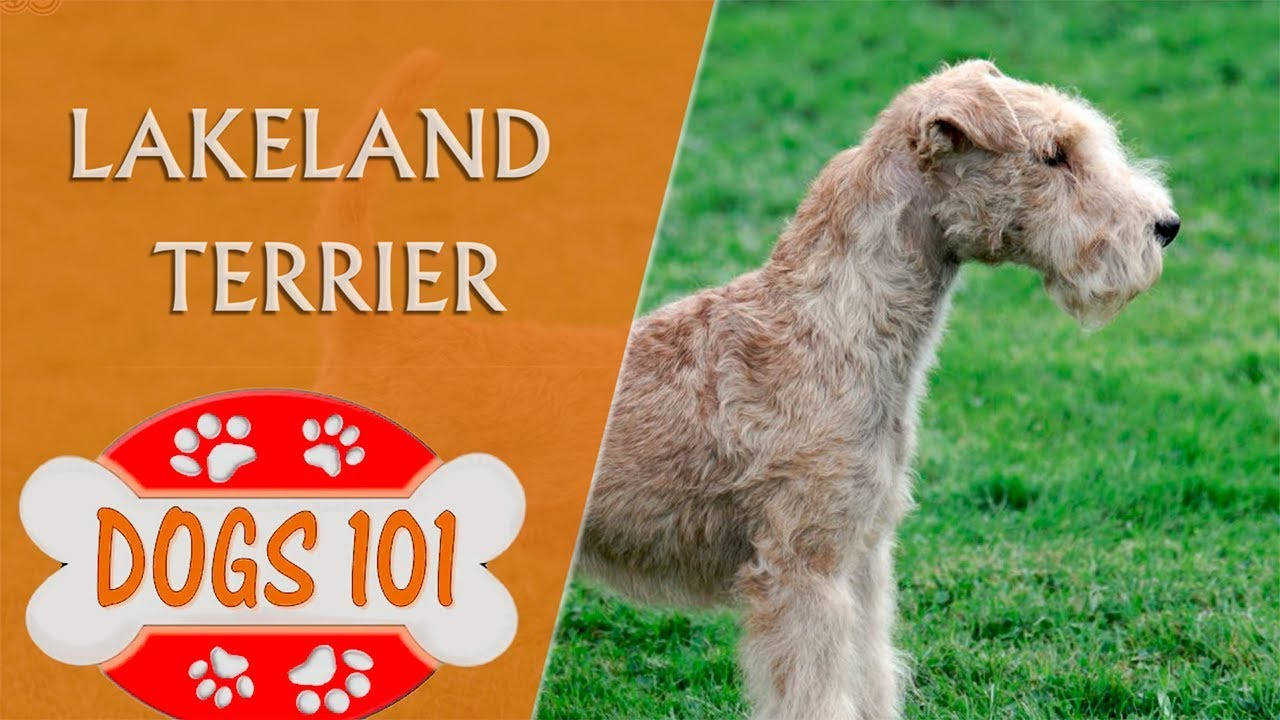 Dogs 101 - LAKELAND TERRIER - Top Dog Facts about the ...