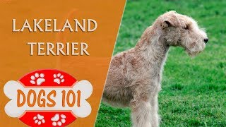 Dogs 101  LAKELAND TERRIER  Top Dog Facts about the Lakeland Terrier