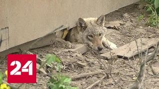 Жители Обухова в страхе: вместо собаки сосед завел волчицу