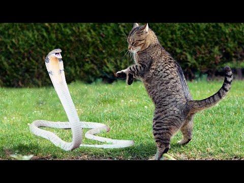 Кот Встретил Кобру! Случаи с Котом Снятые на Камеру