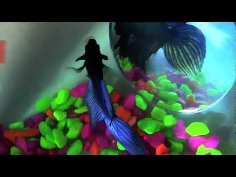 Experiment with a betta fish and a mirror youtube for Betta fish mirror