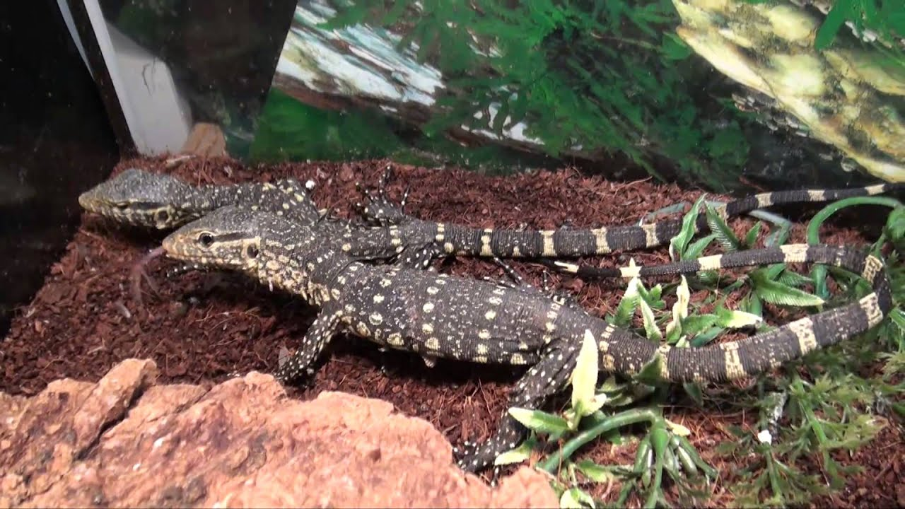 Ornate Nile Monitors For Sale  Buy at Big Apple Pet with Same Day Shipping
