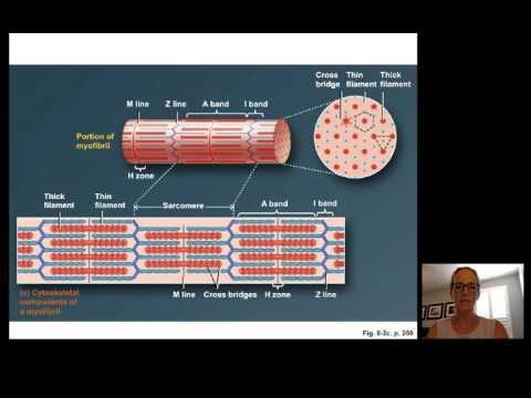 Lecture15 Muscle Physiology