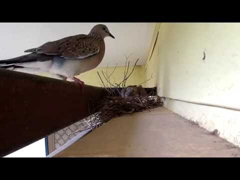 Spilopelia chinensis - Spotted Dove feeding its baby