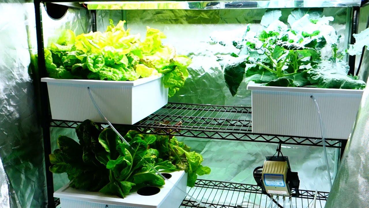 New Hydroponic Grow Tent Setup Cucumber Plants Spreading