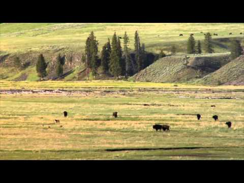 Yellowstone Coyotes Chase Black phased Grey Wolf from Den