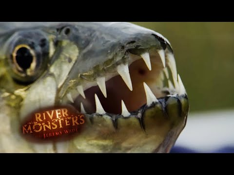 The Jaws Of A Tiger Fish - River Monsters