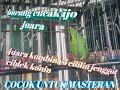 Om Kicau Burung Cucak Ijo Juara Doyok Blangon Kombinasi Ciblek Jenggot Prenjak Kapsan Omkicau(.mp3 .mp4) Mp3 - Mp4 Download
