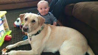 初めて人間の赤ちゃんに会ったラブラドール犬の反応が超おもしろ 見てく...