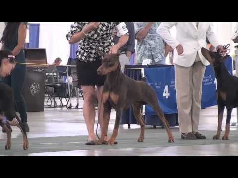9-2-13 Valley Isle Kennel Club of Maui  DOBERMAN PINSCHERS