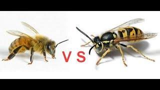 оса против пчел wasp vs bees