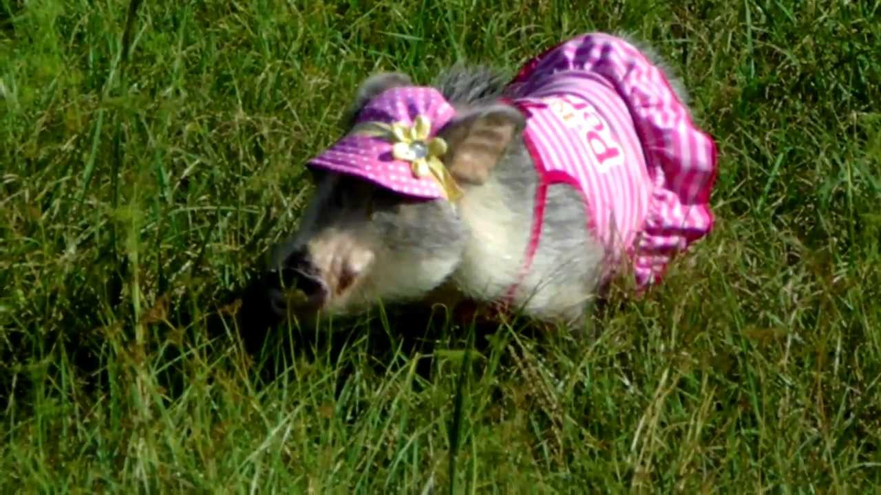 Teacup Pig in Pink Dress and Sun Hat - YouTube