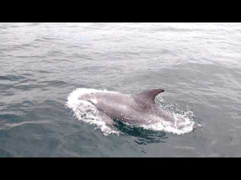Risso' dolphins - Calf of Man