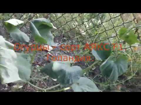 Огурец АЯКС F1. Cucumber AJAX F1. | садоводство | консервация | растение | закрутка | гибрдный | закуска | огурец | огород | сорт | аякс