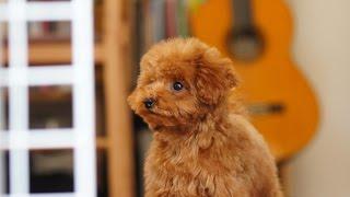 京都ラッキーファミリーのプードルたち http://www.poodle110.com/ トイプードル...