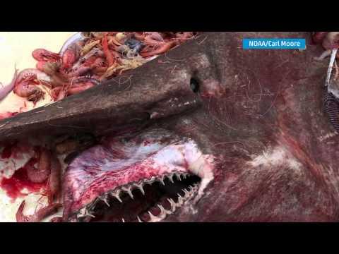 Fisherman Catches Goblin Shark