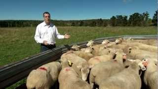 Estimated sheep breeding values 101 (MLA feedbackTV)