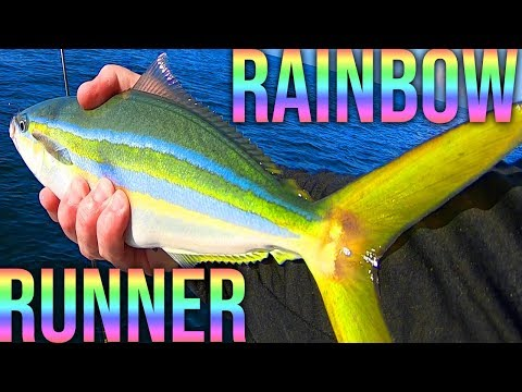 Beautiful Rainbow Runner  -  (Catch And Cook) -  Solo Therapy Trip Anna Maria Island Florida