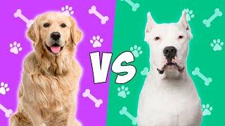 Golden Retriever VS Dogo Argentino  Quien Gana?