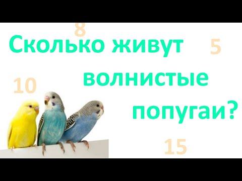 Вопрос: Сколько живёт волнистый попугайчик без партнера?