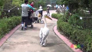 펠리칸 ( Pelican )