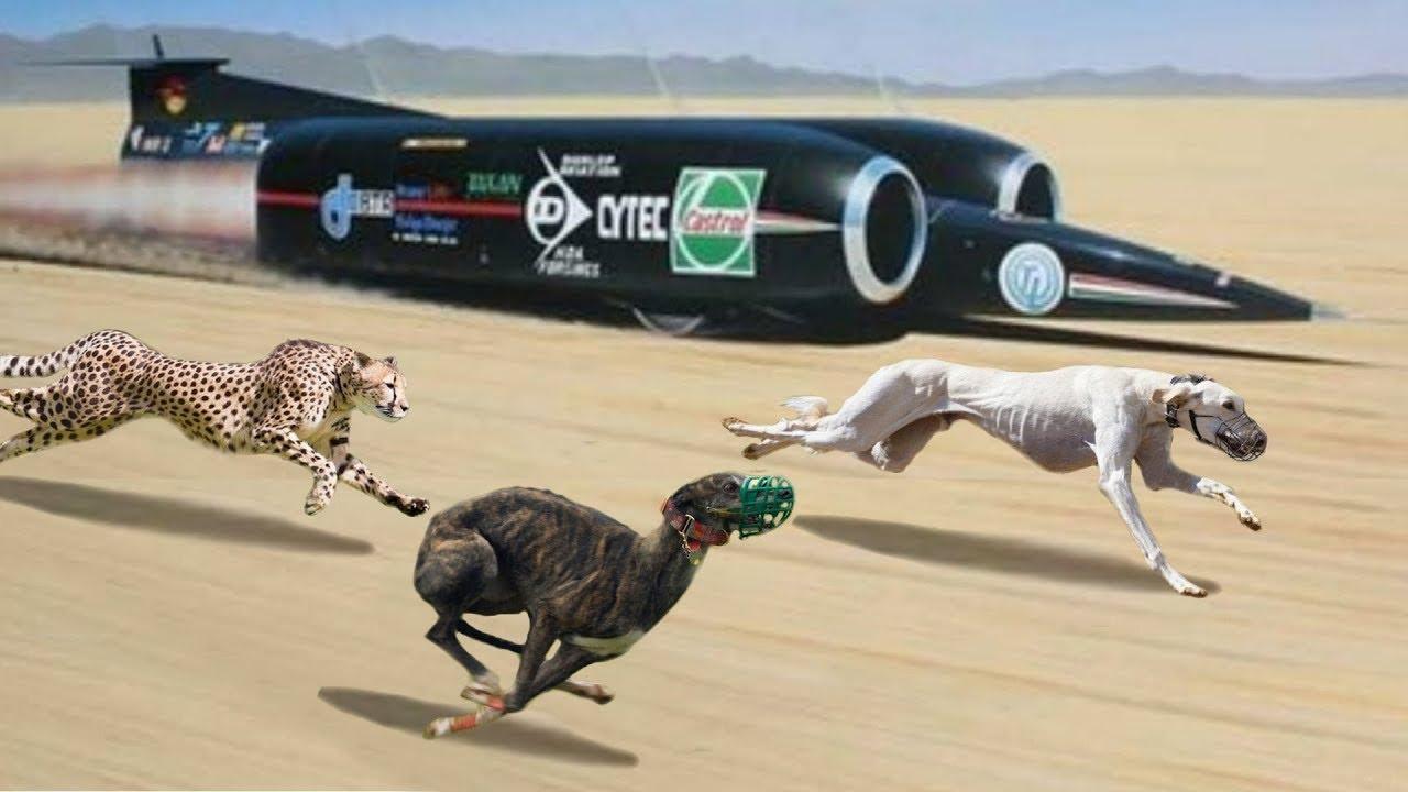 أسرع الكلاب في العالم و التي بلغت سرعتها لارقام غير متوقعة  !!