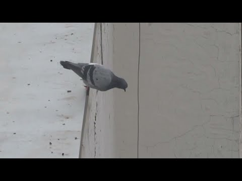 Bird Jumps off Roof
