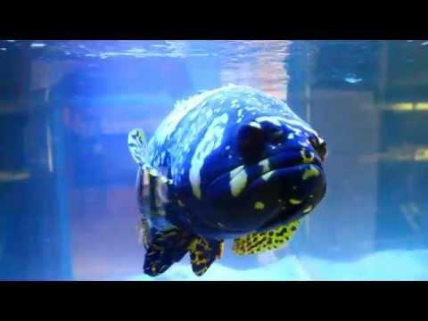 Monster Aquarium Fish - Giant Bumblebee Goliath Grouper