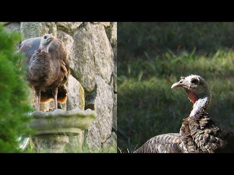 Wild Turkey in the Bird Bath, 9/22/16, Aqueduct Trail - Framingham