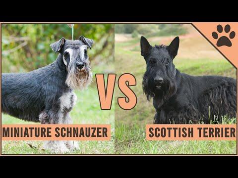 Miniature Schnauzer vs Scottish Terrier