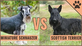 Miniature Schnauzer vs Scottish Terrier