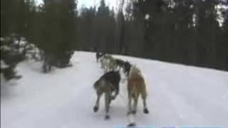 How To Race Sled Dogs In The Iditarod : Training The Race Sled Dogs To Turn