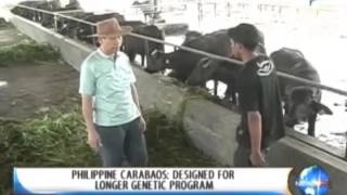 [NewsLife] Philippines Carabaos: Designed for longer genetic program