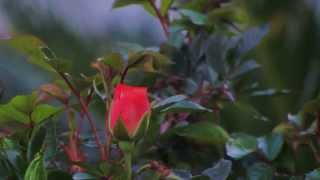 Andre' Rieu  -  The Rose (Spring)