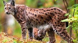 Рысь Неуловимый охотник !!! Животные с National Geographic / Видео