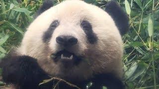 2019/8/13 頭がとんがり気味のシャンシャン Giant Panda Xiang Xiang