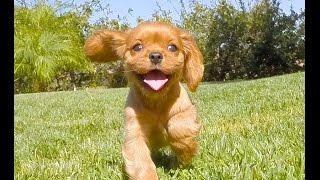 ''morgan'' - Female Aca Cavalier King Charles Spaniel Puppy For Sale In San Diego