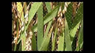 Paddy Rice Blast Disease