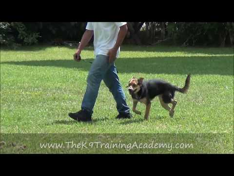 Snicker's with Advance Obedience - The K9 Training Academy