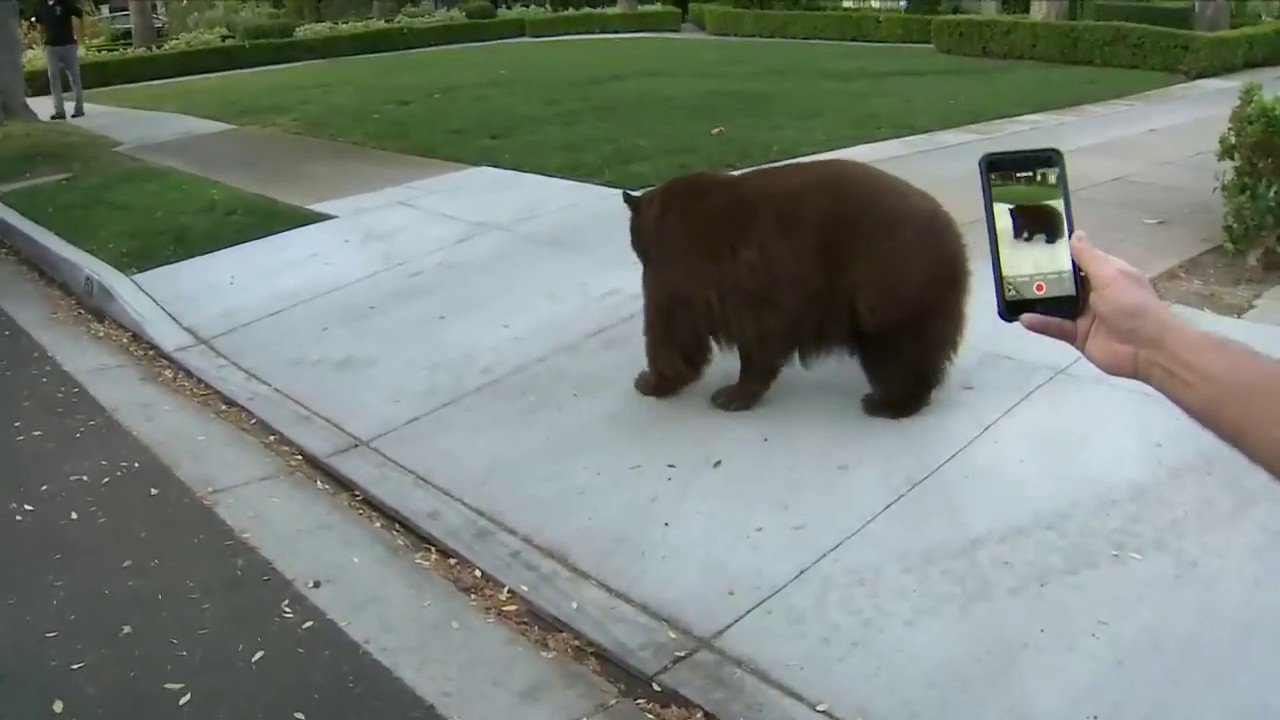 BEAR WATCH 2020: How Close Can YOU Get To A Bear In California?!!?!
